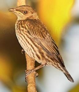 Gbr Burungi-005
