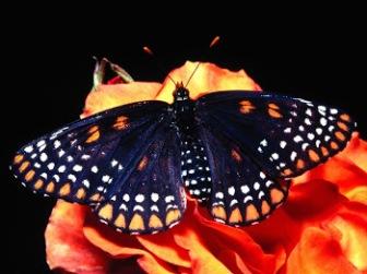 Gambar Kupu-Kupu Cantik Warna Hitam