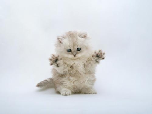 kucing persia lucu @ Wisiwic
